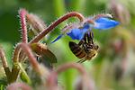 Bee on Borage, Western Honey Bee, Southern California