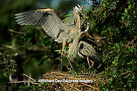 00684-02807 Great Blue Heron (Ardea herodias) male bringing branch to female at nest FL