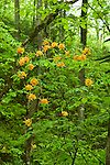 Flame Azalea, Pisgah National Forest, Western NC