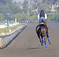 2010 Horse of the Year Zenyatta (Street Cry - Vertigineux) at John Shirreffs' Hollywood Park barn in late November 2010.  Steve Willard, rider; Mario Espinoza, groom.