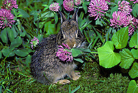 Baby Eastern Cottontail rabbit (Sylvilagus floridanus) caught eating wild pink  clover flower Midwest USA