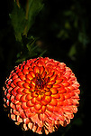 Dahlia - Ginger Willo, Swan Island Dahlias, Oregon