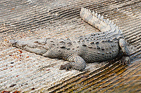 US, Florida, Everglades. American crocodile in Flamingo.