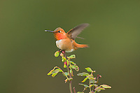 Male Rufous Hummingbird (Selasphorus rufus) displaying gorget while perched on red huckleberry bush.  Pacific Northwest.  Spring.