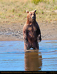 Alaskan Coastal Brown Bear Standing, Silver Salmon Creek, Lake Clark National Park, Alaska
