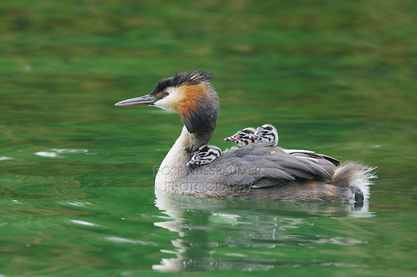 Great-crested Grebe (Podiceps cristatus), adult with young on back, Switzerland, Europe