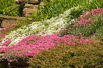 Mountain pinks