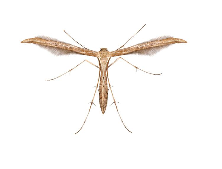 45.044 (1524)<br /> Common Plume - Emmelina monodactyla