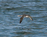Red-throated Diver Gavia stellata - Winter Adult. L 55-65cm. Swims low in water, head and dagger-like bill tilted upwards. Dives frequently. Sexes are similar. Adult in summer has blue-grey on face and sides of neck, red throat and black-and-white lines on back and lower sides of neck. Upperparts are otherwise brownish grey and underparts are whitish. In winter, grey upperparts are spangled with small white spots; underparts are white. Juvenile is similar to winter adult but grubby-looking. Voice Mostly silent. Status Scarce breeding species; nests beside freshwater pools. Outside breeding season, found in shallow coastal seas; locally common in winter.