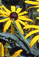 Praying mantis on Rudbeckia flower, genus Mantis, beneficial insect