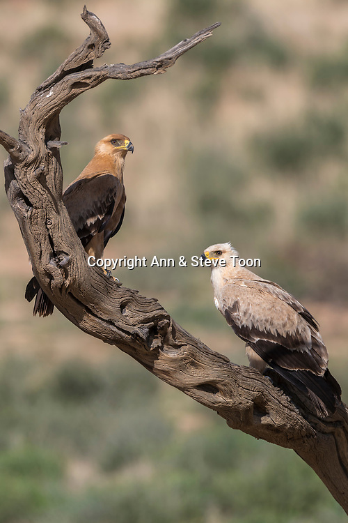 Tawny eagles (Aquila rapax), Kgalagadi transfrontier park, Northern Cape, South Africa, February 2017