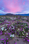 Dawn, Sand Verbena, Morning Glory, Dune Evening Primrose, Anza-Borrego Desert State Park, California