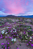 Dawn, Sand Verbena, Morning Glory, Dune Evening Primrose, Anza-Borrego Desert State Park, California