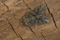 Olivgrüne Eicheneule, Olivgrüne Hain-Eicheneule, Braungraue Eicheneule, Dryobotodes eremita, Brindled Green. Eulenfalter, Noctuidae, noctuid moths, noctuid moth