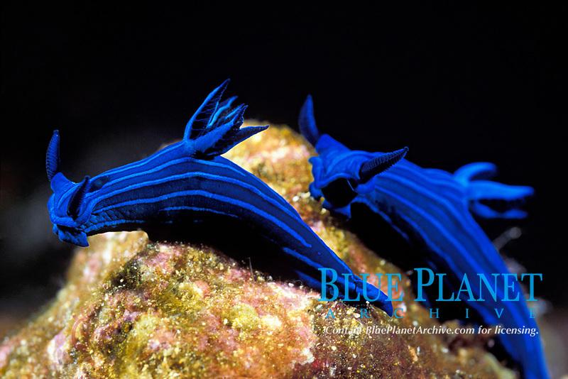 blue-striped sea slugs, Tambja mullineri, endemic to Galapagos Islands, Ecuador (Eastern Pacific Ocean)
