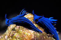 blue-striped sea slugs, Tambja mullineri, endemic to Galapagos Islands, Ecuador (Eastern Pacific Ocean)