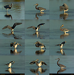 Tricolored Heron Display, Louisiana Heron, Egretta tricolor, Sanibel Island, Florida Composite Image