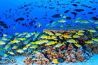 schooling bluestripe snapper, Lutjanus kasmira, French Frigate Shoals, Papahanaumokuakea Marine National Monument, Northwestern Hawaiian Islands, Hawaii, USA, Pacific Ocean