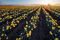 Daffodil field, Skagit Valley, Mount Vernon, Washington State, USA
