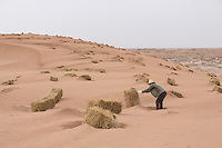 A Chinese afforestation worker prepares straw stacks in the desert areas of Minqin county in Gansu province, October 2016. Locals poke straw partway into the sand, forming a pattern of small squares. The grid like network of straw fences break the force of the wind at ground level, stopping dune movement by confining the sand within the squares of the grid. Minqin county is located in between the Tengger Desert and the Badain Jaran Desert.