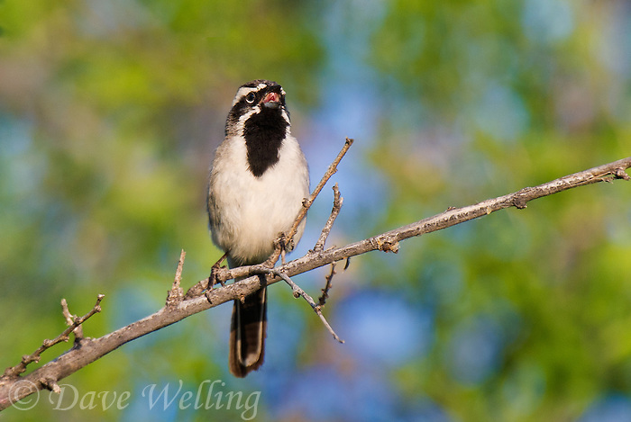 578670045 a wild black-throated sparrow amphispiza bilineata sings from a perch in florida wash near madera canyon pima county arizona united states