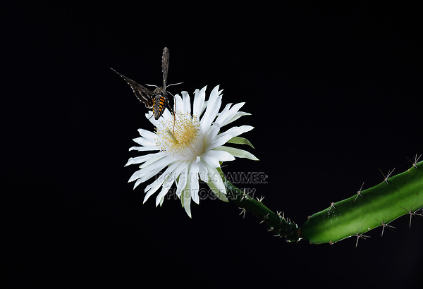 Sphinx Moth (Sphingidae), adult at night drinking out of Night-Blooming Cereus (Peniocereus greggii), Hill Country, Texas, USA