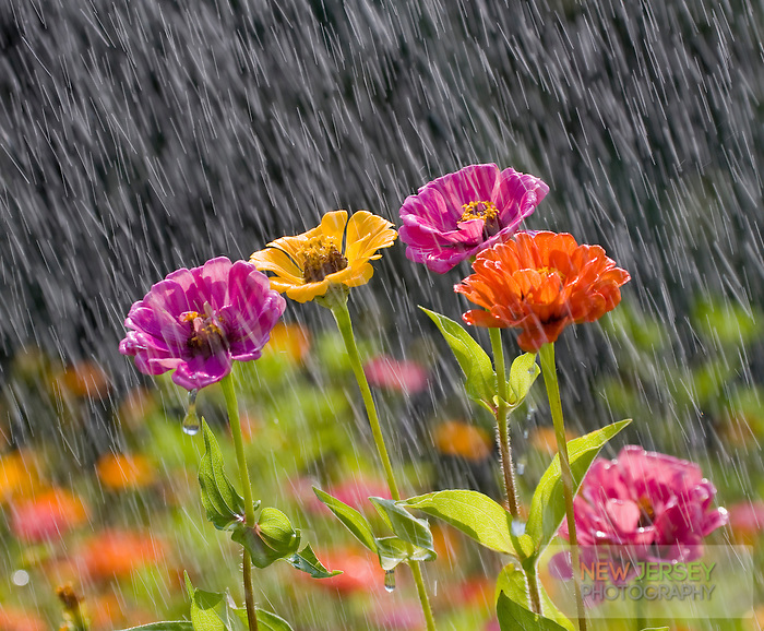 Summer Rain, Wildflower Meadow, New Jersey