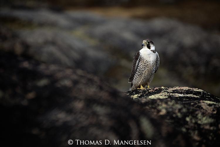 Peregrine Falcon perched on rocks.