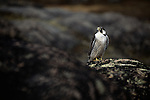 Peregrine Falcon perched on rocks.