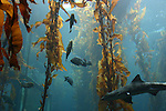 leopard shark in kelp forest at Monterey Bay Aquarium