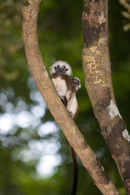 Wild Cotton-top tamarin (Saguinus oedipus) carrying a baby on his back in the dry tropical forest of Colombia.<br />