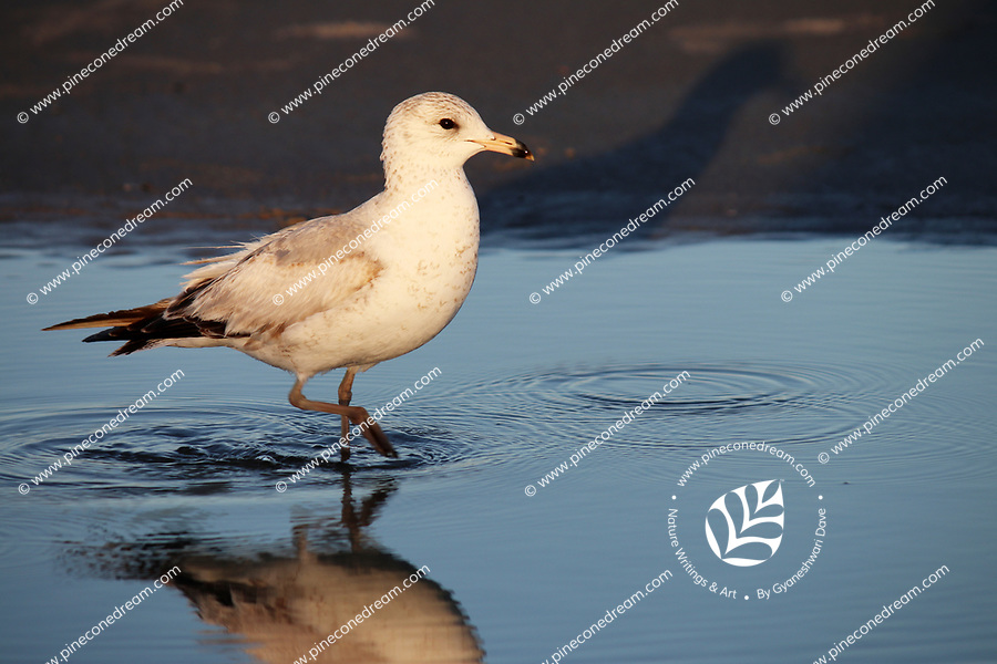 A seagull walks quietly making splashes in the water at a sea shore in America - Free Stock Photo.