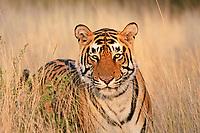 Tiger (Panthera tigris), Ranthambore National Park, Rajasthan, India, Asia
