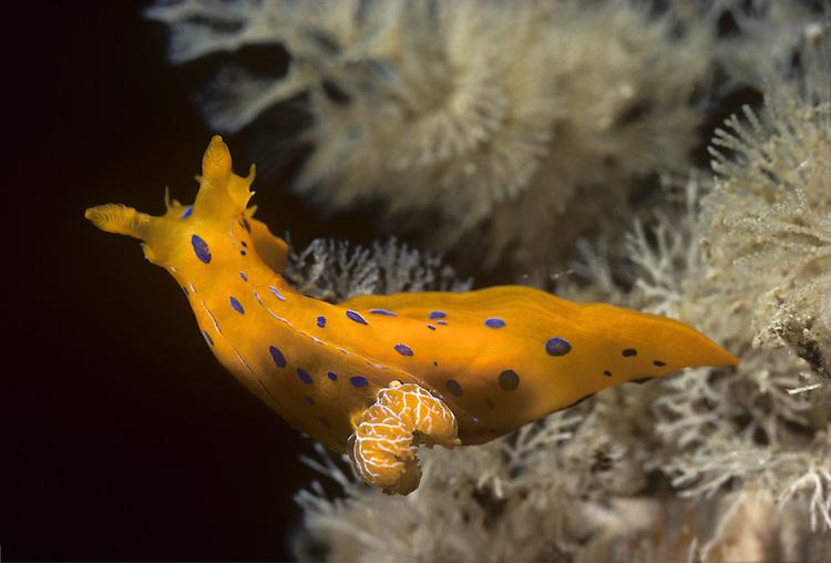 Greilada elegans<br /> sea slug