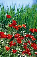 Klatsch-Mohn, Klatschmohn, Mohn, Ackerrandstreifen, Papaver rhoeas, Corn Poppy, Field Poppy