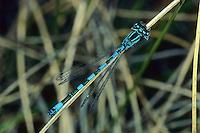 Helm-Azurjungfer, Helmazurjungfer, Männchen, Coenagrion mercuriale, southern damselfly, mercury bluet, male, L'Agrion de Mercure