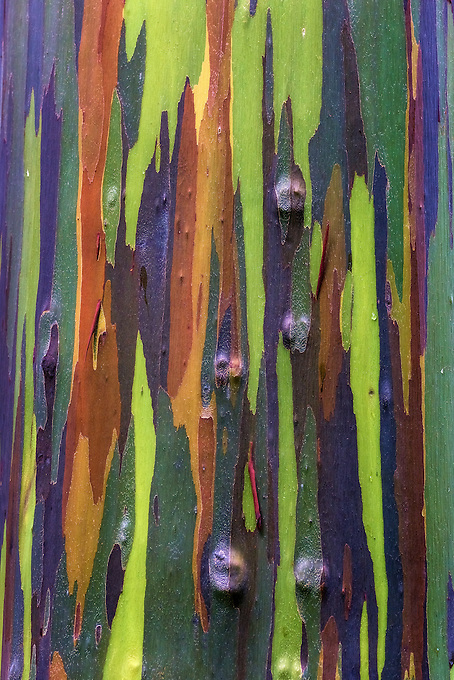 The multi-hued bark of the rainbow eucalyptus (Eucalyptus deglupta) shows an assortment of color based on seasonal peeling.