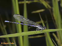 0826-06ss  Eastern Forktail Damselfly - female - Ischnura verticalis - © David Kuhn © David Kuhn/Dwight Kuhn Photography