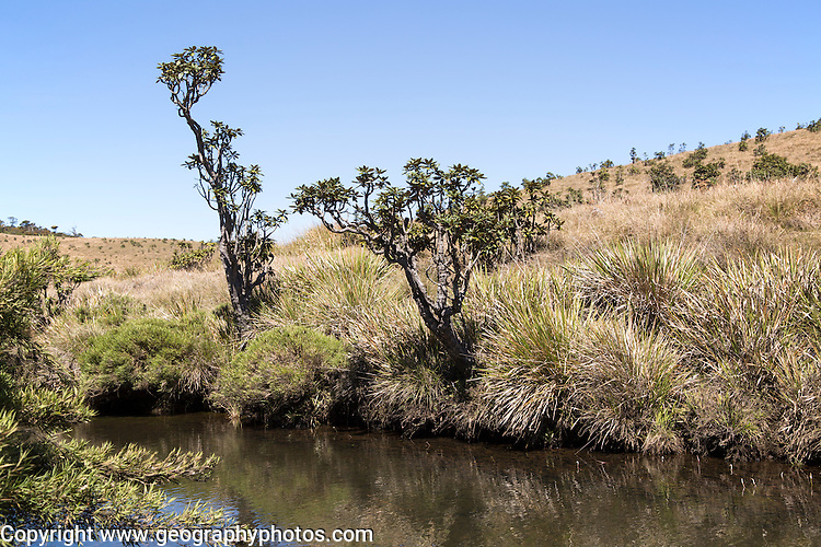 Belihul Oya river in montane grasland environment, Horton Plains National Park, Central Province, Sri Lanka, Asia