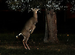 November 1, 2013 Revealed by a camera's flash, a deer stands on it's back legs to reach up to the low hanging branches of a blue spruce tree in pitch black darkness next to the Martha Dixon Martinez baseball baseball diamond in Mt. Lebanon Municipal Park near Cedar Blvd. in Mt. Lebanon. copyright JimMendenhallPhotos.com 2013