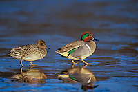 Green-winged Teal pair (Anas crecca) Pacific Northwest, winter..