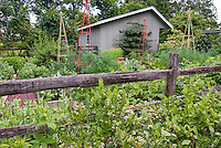 Blueberry bushes, fruit and vegetable garden with fence and shed in backyard, Vaccinium corymbosum