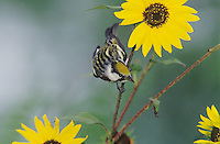 Chestnut-sided Warbler, Dendroica pensylvanica,male on sunflower, South Padre Island, Texas, USA