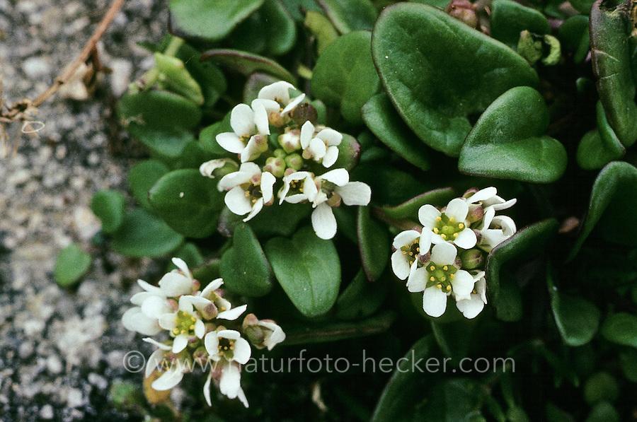 Echtes Löffelkraut, Gewöhnliches Löffelkraut, Cochlearia officinalis, Common Scurvy Grass, Spoonwort