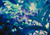 Dendrobium orchid (Dendrobium sp.) cross- processed.