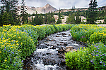 arrowleaf ragwort and tall chiming bells line a stream on summer morning, wilderness in Rocky Mountain National Park, Colorado, USA