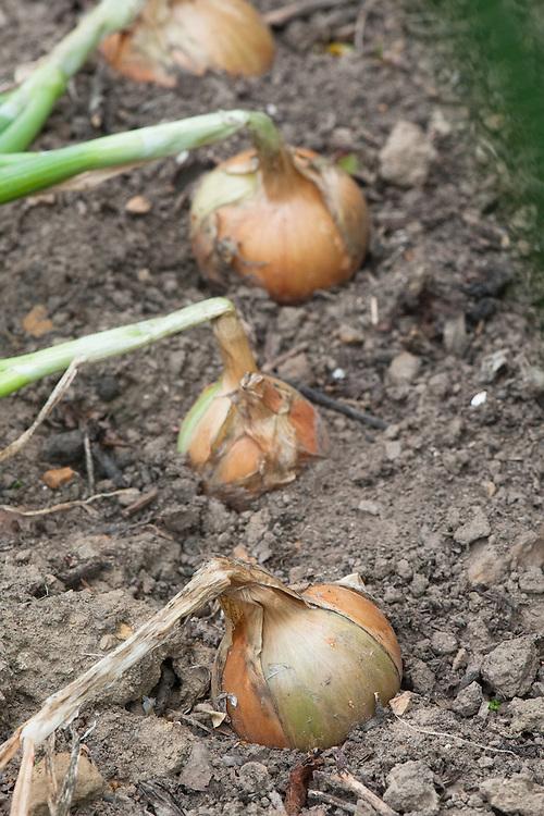 Onion 'Autumn Champion', late July.