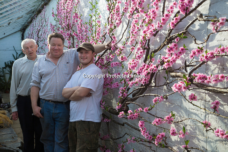0703/17<br /> <br /> <br /> L/R: Derek Walker (86), Robert Walker (54) and Thomas Walker (25).<br /> <br /> If you are peachy-keen to see some proof that spring really is just around the corner, then feast your eyes on these sweet pink flowers that have finally burst in to bloom in a corner of an old Derbyshire nursery.<br /> <br /> Full story here: https://fstoppress.wordpress.com/2017/03/06/blooming-peaches/<br /> <br /> <br /> Planted one hundred and thirty years ago, the blooms from two peach trees now stretch from floor to ceiling, against a white-washed wall, in a narrow sixty-foot-long glasshouse. They are thought to make one of the country's longest peach blossom walls.<br /> <br /> <br /> All Rights Reserved F Stop Press Ltd. (0)1773 550665 www.fstoppress.com