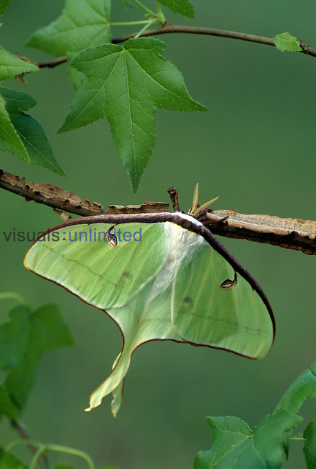 Luna Moth (Actias luna) Florida...
