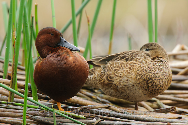 Pair of adult Cinnamon Teal (Anas cyanoptera). King County, Washington. April.